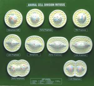 Animal Cell Division Mitosis